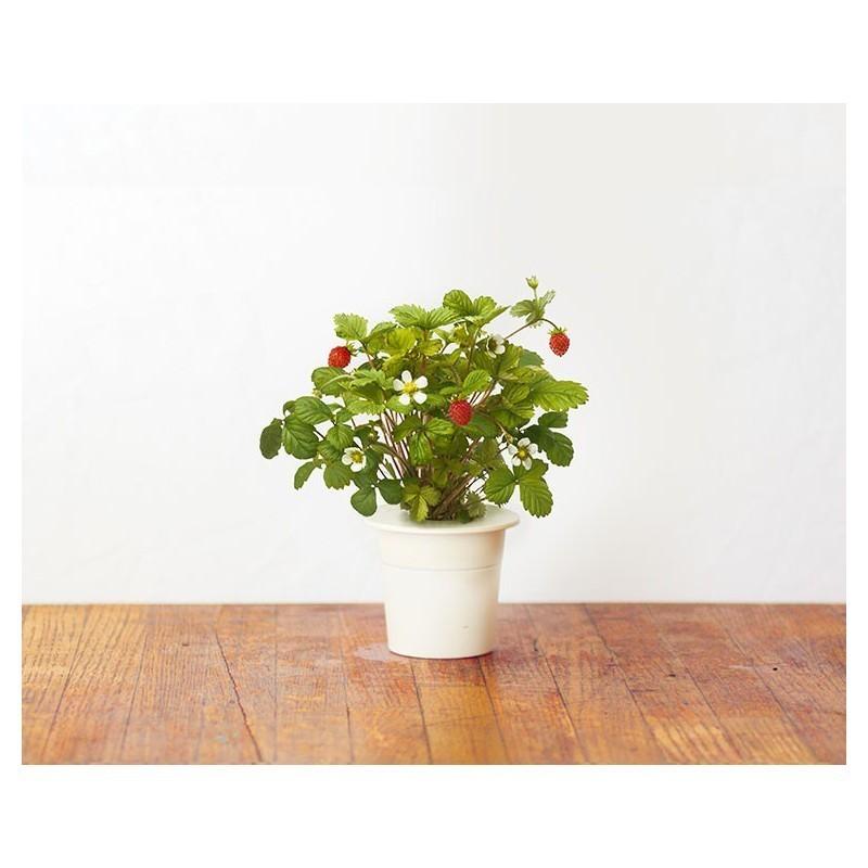 Click & Grow Smart Herb Garden refill Maasikas 3tk