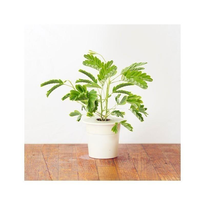 Click & Grow Smart Herb Garden refill Mimoos 3tk