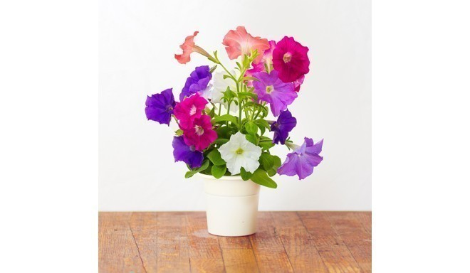 Click & Grow Smart Herb Garden refill Petuunia 3tk