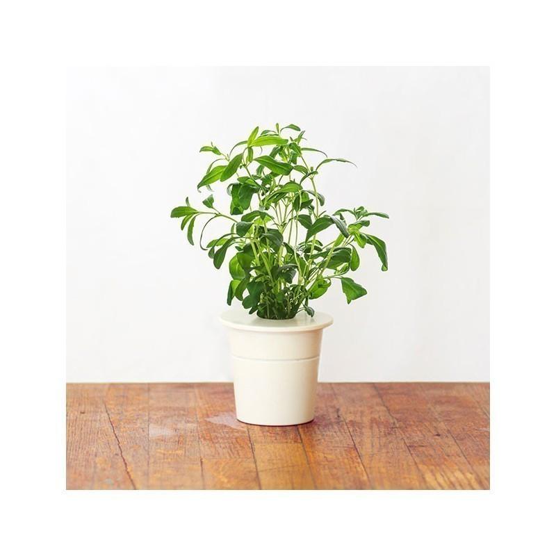 Click & Grow Smart Herb Garden refill Iisop 3tk