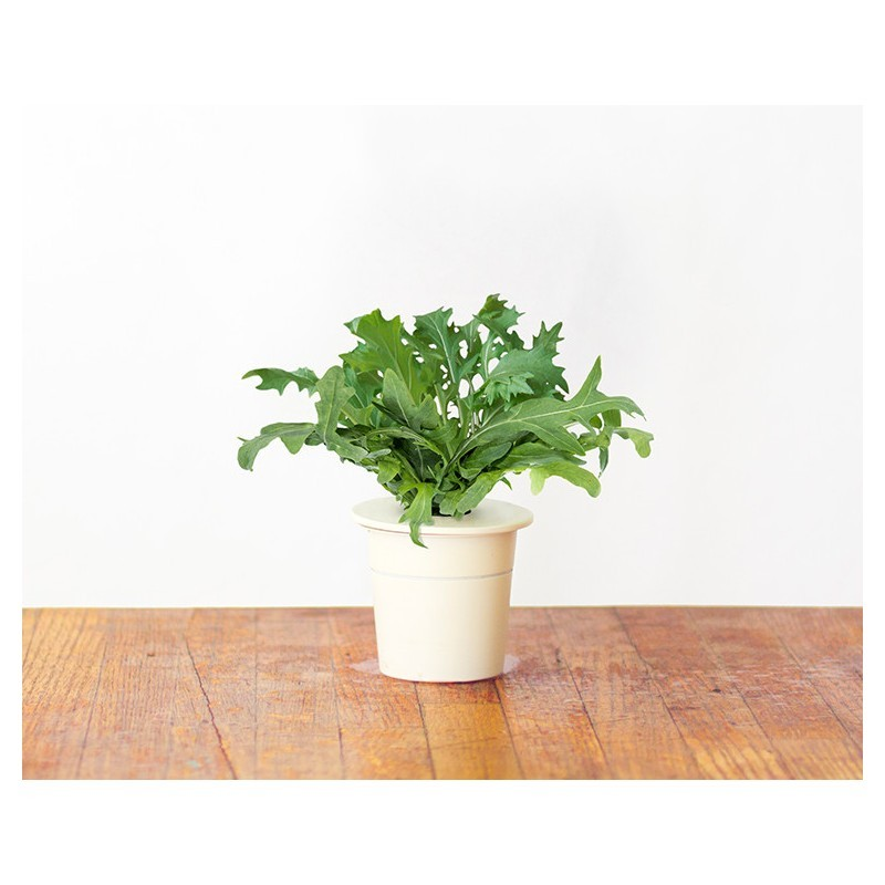 Click & Grow Smart Herb Garden refill Rukola 3tk