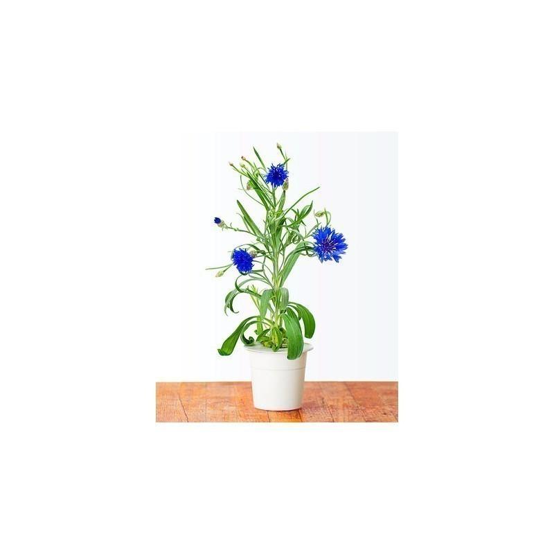 Click & Grow Smart herb Garden refill Rukkilill 3tk