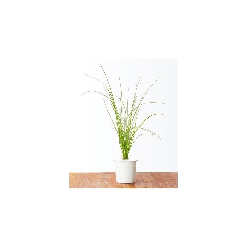 Click & Grow Smart Herb Garden refill Murulauk 3tk