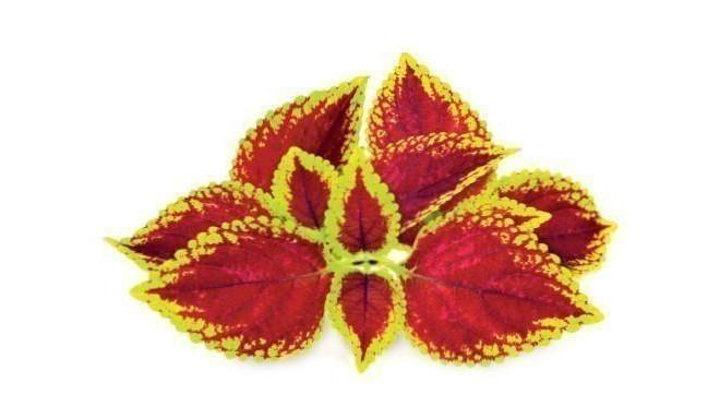 Click & Grow Smart Garden refill Painted Nettle 3pcs